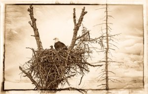 Book-099Eagle-and-Eaglet-Alaska