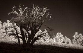 Moon-through-Bristlecone-Pines